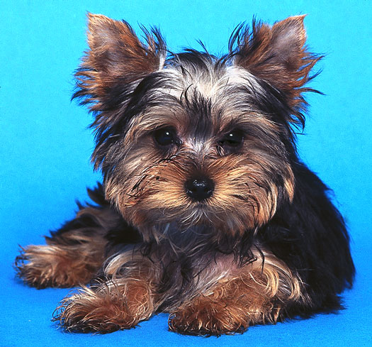 The Long And The Short Of Coat Styles For Your Yorkshire Terrier