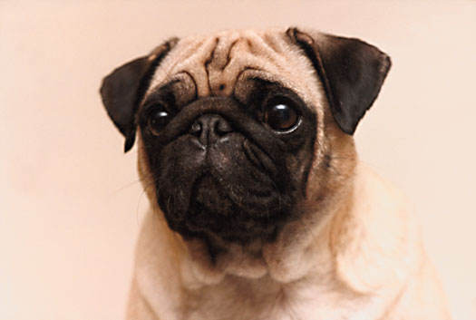 Describing The Ideal Pug Akc Style Dummies