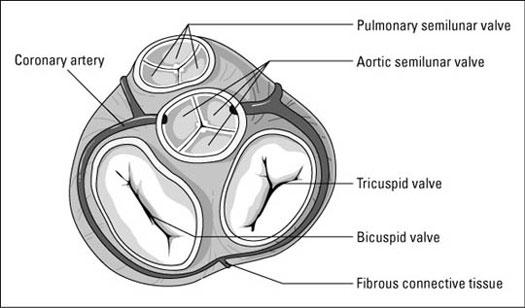 Figuring Out Cardiac Anatomy: Your Heart - dummies
