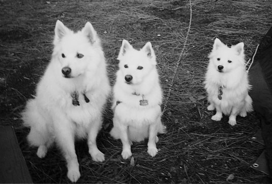 Note the size differences among dogs of the same American Eskimo breed. [Credit: Photo courtesy of