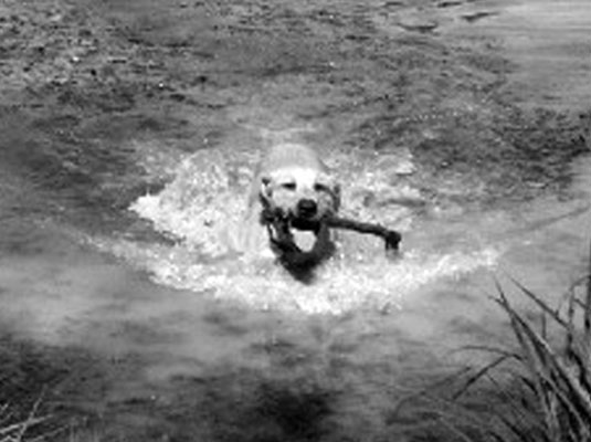 Many sporting dogs are also water dogs and swim every chance they get. [Credit: Indy/Photo courtesy