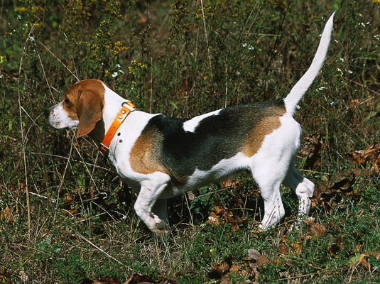 Beagles were bred in the 1500s to hunt rabbits. This built-in ability allows them to excel at field
