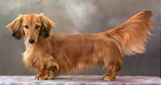 Dachshunds The Akc Breed Standard Dummies