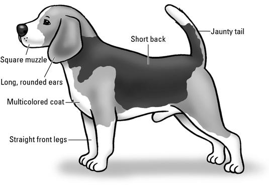 Beagle Show Dog Standards