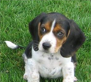 Pocket Beagles are cute and cuddly but, unlike other miniature dogs, they're sturdy working dogs bu