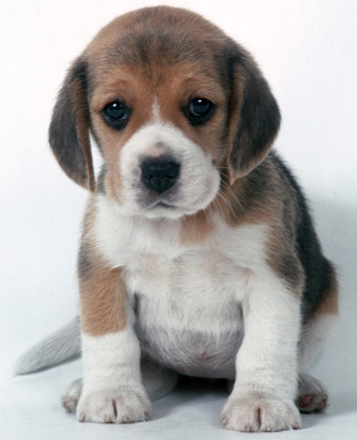 Who can resist an adorable Beagle puppy?