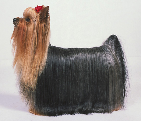 A Yorkie's show-quality coat is beautiful, but time-consuming to achieve.