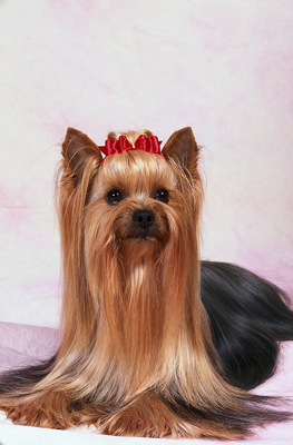 A Yorkshire Terrier's bow is both pretty and functional.
