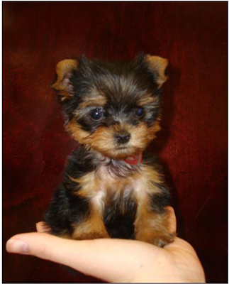 Characteristics Of Teacup Yorkies Dummies