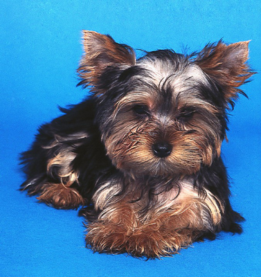 Some Yorkies sport a puppy cut, which resembles a puppy's easy-to-maintain coat.