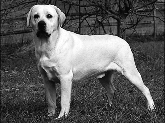The ideal Lab demonstrates the suggested neck, topline, and back of the breed standard.