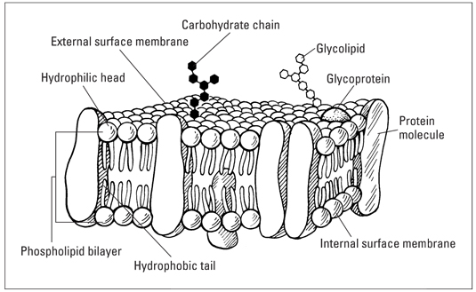 the fluid-mosaic model of the cell plasma membrane