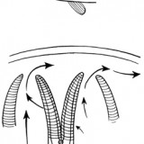The structure and function of gills.