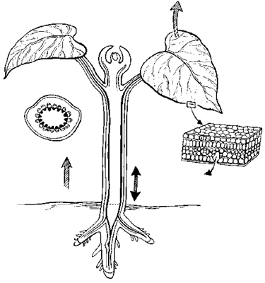 The basic structures of a vascular plant.