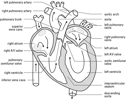 Diagram of a well labelled mammalian heart data wiring diagrams how blood flows through the human heart dummies rh dummies com heart diagram printable a well labelled diagram of the human heart ccuart Image collections