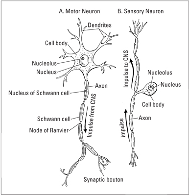 Whats the basic structure of nerves dummies the basic structure of a motor neuron and b sensory neuron ccuart Choice Image