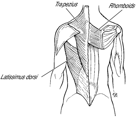 These are the upper back muscles developed by the exercise.