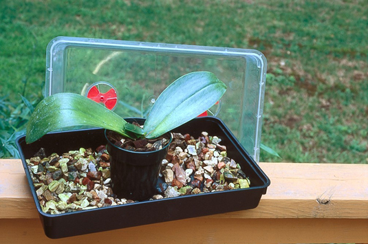 This<b/></noscript> miniature greenhouse with high humidity encourages the orchids to form new roots.&#8221;/> <div class=