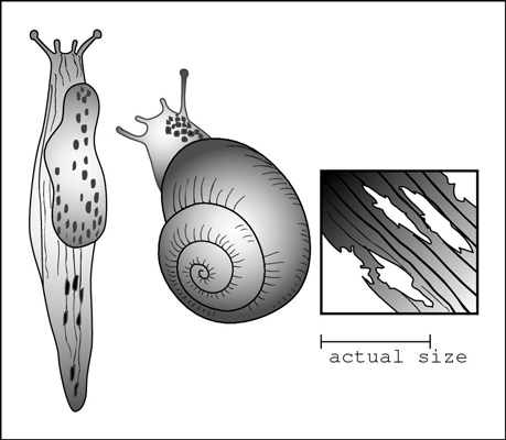 Snails and slugs eat holes in flowers and leaves at night.