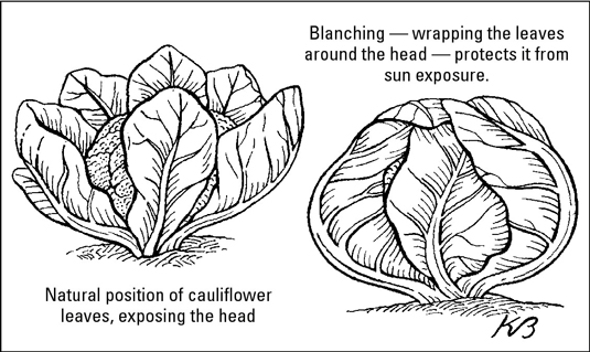 Keep older cauliflower varieties white by wrapping the leaves over the developing heads to prevent