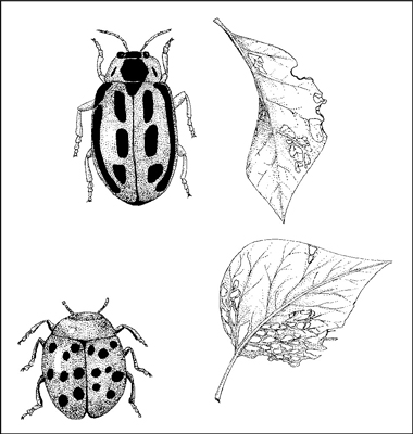 Bean leaf beetle adults chew leaves; the larvae attack plant roots.