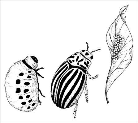 Control Colorado potato beetles by encouraging spiders, lady beetles, predatory stinkbugs, and tach