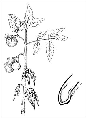 Fusarium wilt is fatal to many vegetable crops.