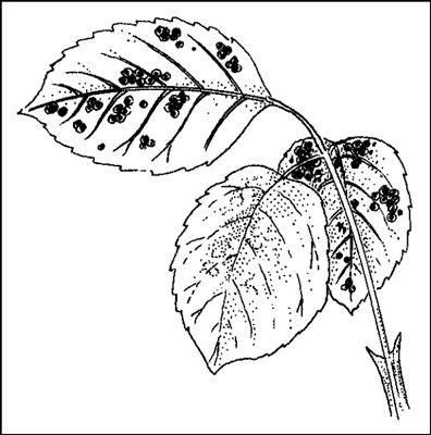 Rust fungus forms yellow or orange bumps on leaf undersides.