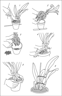 How To Repot An Orchid Dummies