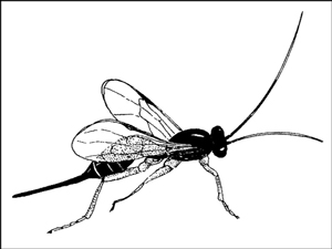 "Adult <i/></noscript>Ichneumonid wasps need a steady source of nectar-bearing flowers to survive.""/> <div class="