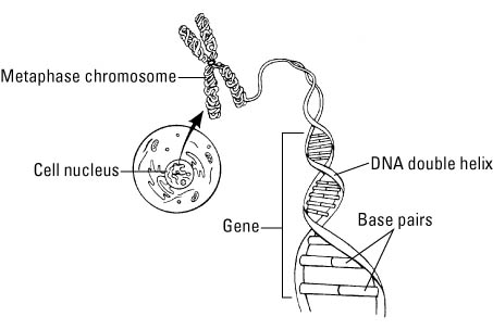 Genetics for dummies cheat sheet dummies image0g ccuart Image collections