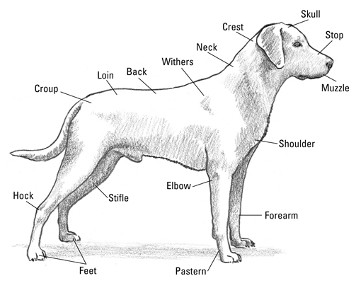 the anatomy of a labrador retriever