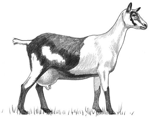 An Alpine goat