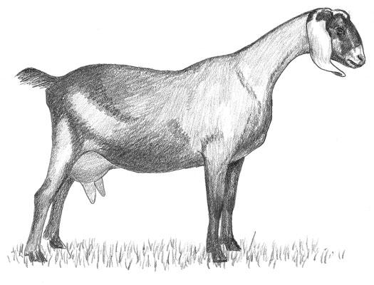 A Nubian goat