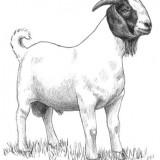 A South African Boer buck