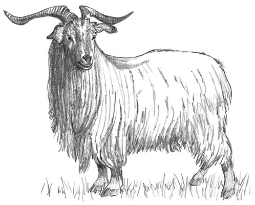 The long-haired Spanish goat is also considered a Cashmere.
