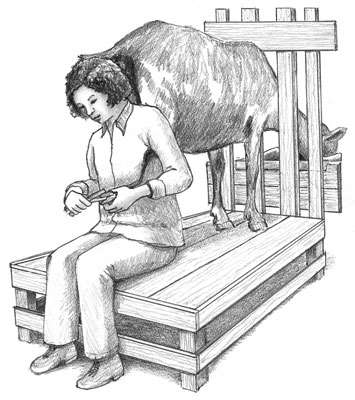 Woman sits behind a goat to trim its back hooves.