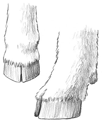 A goat's hooves after they have been trimmed.