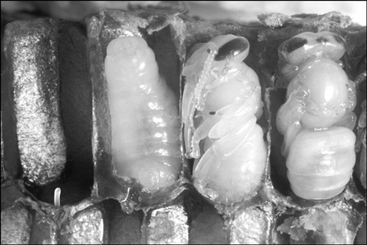Opened cells reveal an egg and developing pupae.
