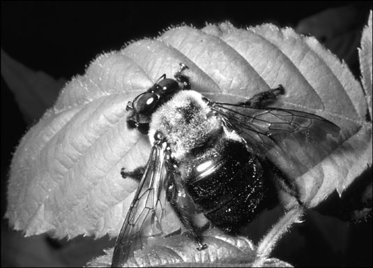 The carpenter bee looks similar to a bumblebee, but its abdomen has no hair.