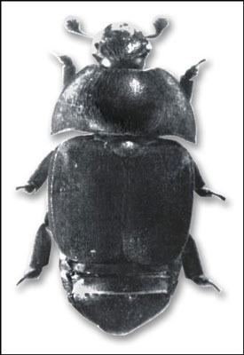The small hive beetle has become a significant problem for beekeepers in some states (mostly in the