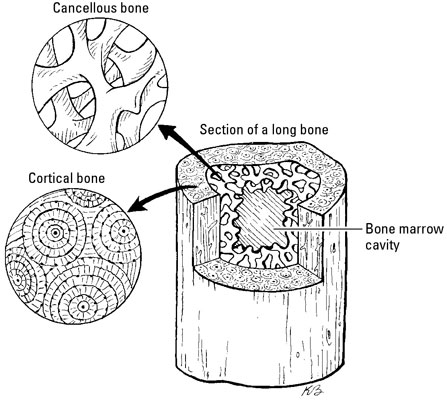 Comparing the two different types of bone: cortical and cancellous.