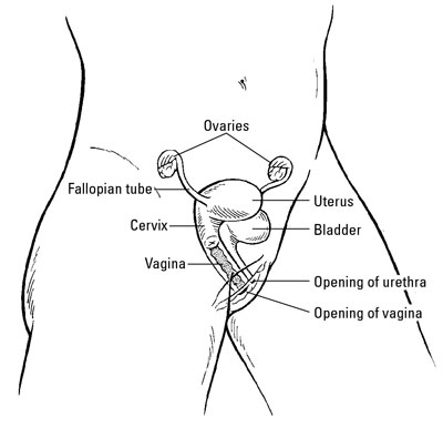Location of the ovaries and other female reproductive organs.