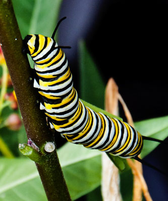 Yellow, black and white caterpillar climbing on a plant.
