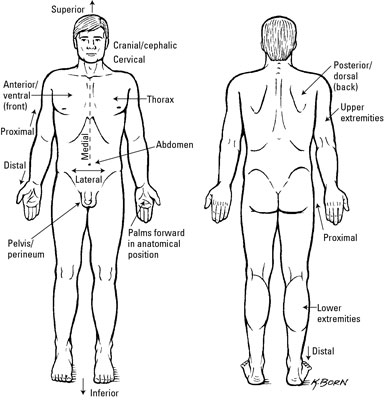 Clinical Anatomy Terms To Describe The Eight Body Regions Dummies