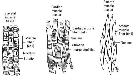 A clinical overview of muscle types dummies skeletal muscles are responsible for making the skeleton move theyre voluntary muscles because you can decide whether the muscles move or not ccuart Choice Image