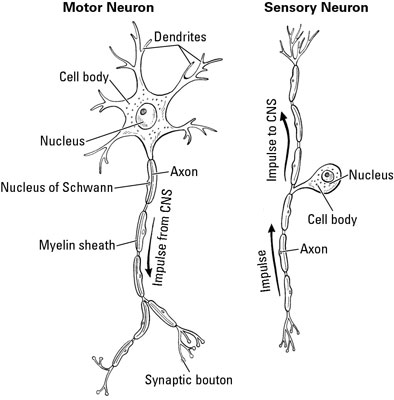 A Clinical Overview Of The Nervous System Dummies