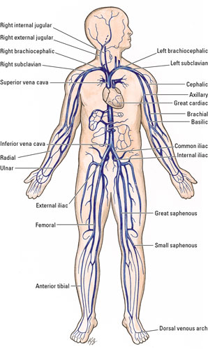 deep veins: the deep veins usually run alongside arteries and frequently  share the same names as those arteries  examples of some deep veins include