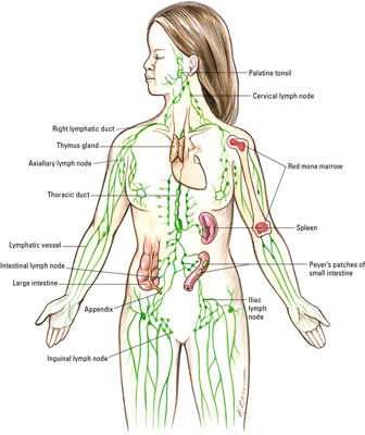 What Organs Are Part of the Lymphatic System? - dummies