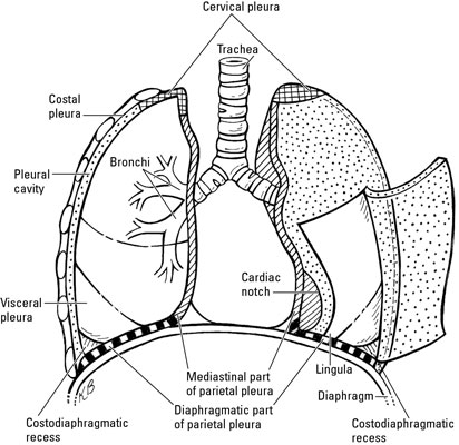 the anatomy of human lungs